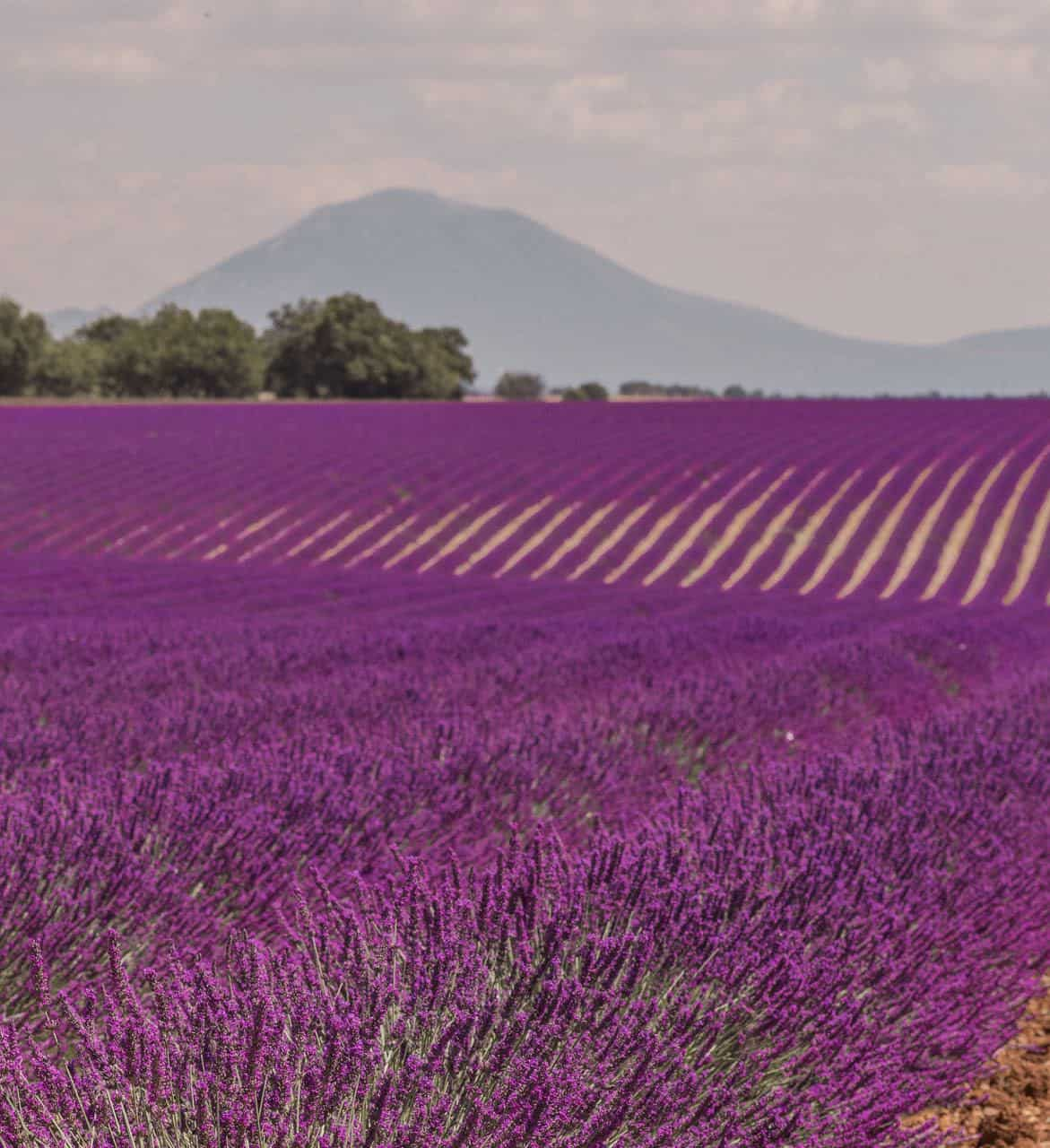 Valensole Lavender Fields in France & Provence Lavender Season