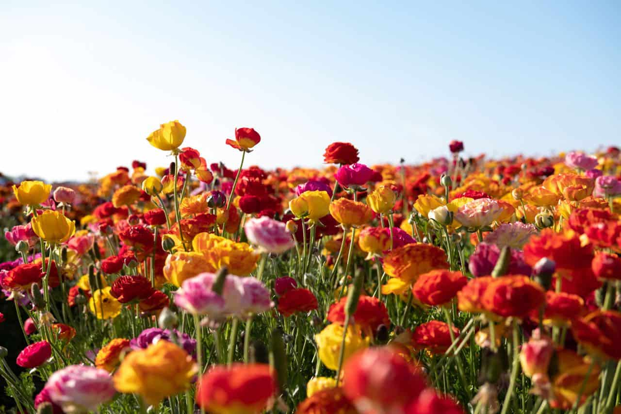 Carlsbad Flower Fields are among the most beautiful flower fields  in the world