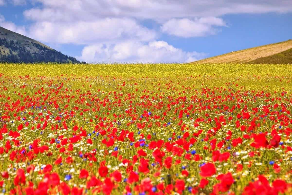 beautiful flower fields in Italy
