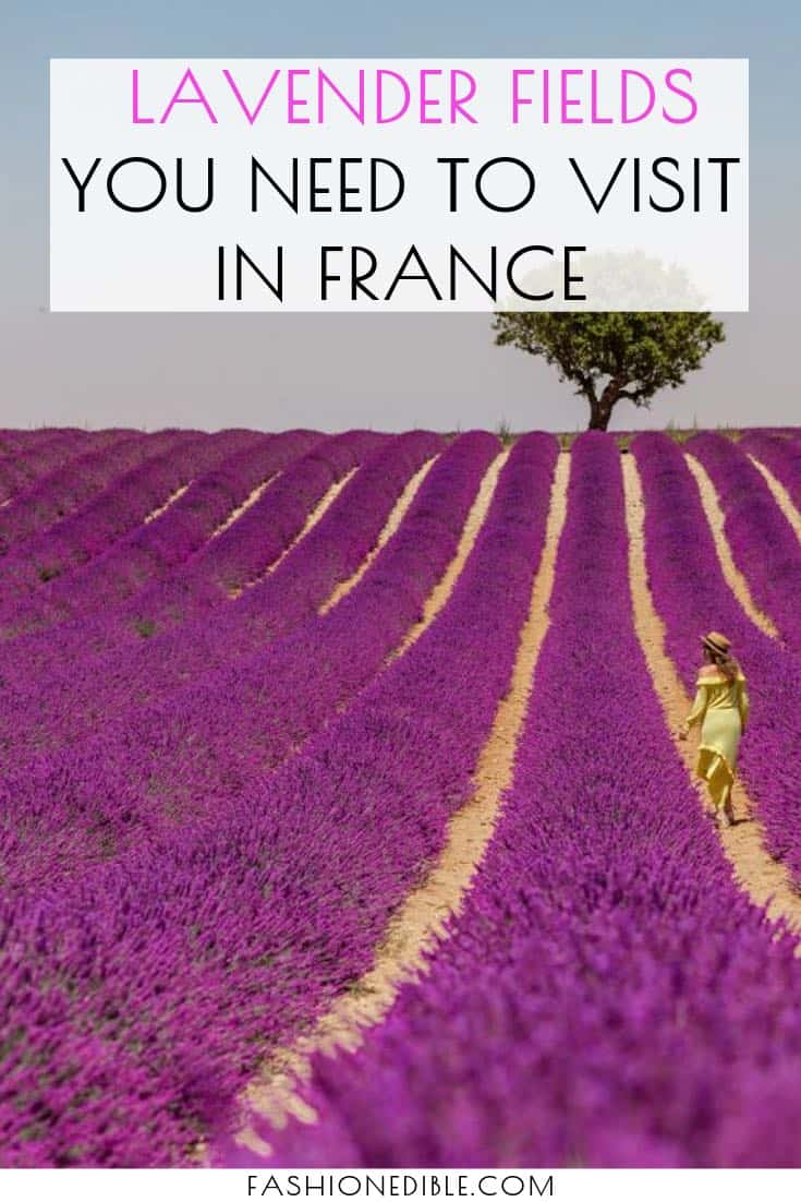 lavender fields in France | French lavender fields | lavender fields season | lavender fields photography | tips for photographing the lavender fields | when to visit the lavender fields in France | flower fields in France